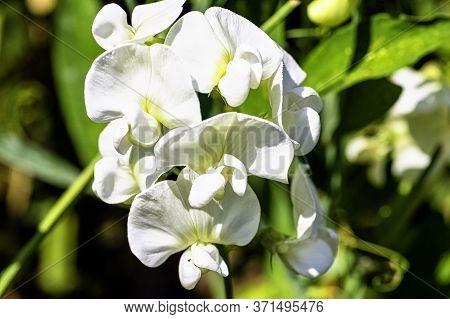 Lathyrus Odoratus Known As Sweet Pea In British Park - London, Uk