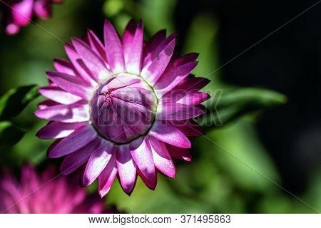 Xerochrysum Bracteatum Known As The Golden Everlasting Or Strawflower