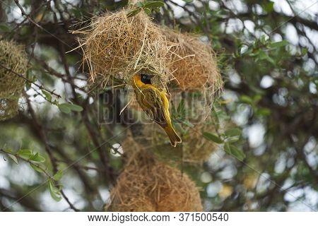 Tanzanian Masked Weaver Ploceus, Reichardi Tanganyika Ploceidae Nest Building
