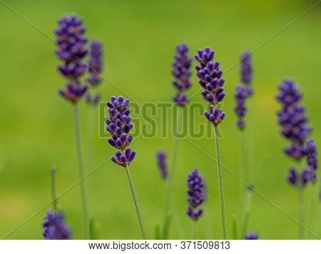 Closeup Of Pretty Lavender Flowers In A Garden, Lavandula Angustifolia Hidcote Blue