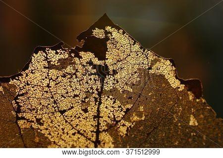 Autumn Leaf Transparent Translucent Sunshine