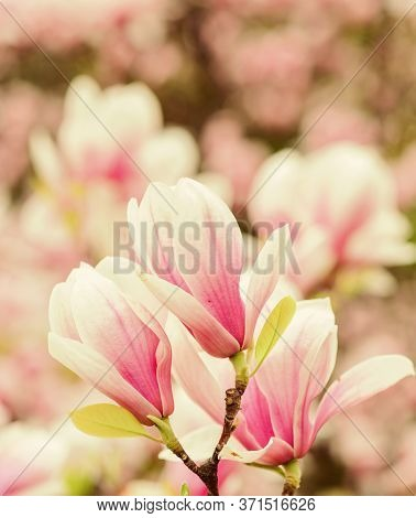 Botany And Gardening. Branch Of Magnolia. Magnolia Flowers. Magnolia Flowers Background Close Up. Fl