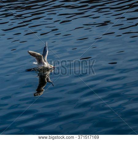 landing gull at a blue sea