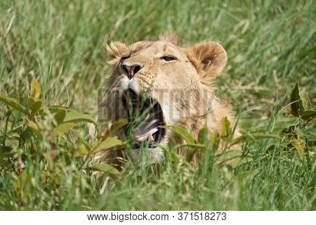 A Young Lion In The Morning Sun Of Ngorongoro Crater Serengeti