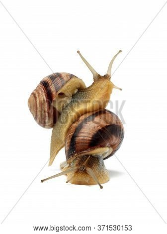 Two Brown Snails Are Isolated On A White Background, Mollusk Is Sitting On Another Mollusk