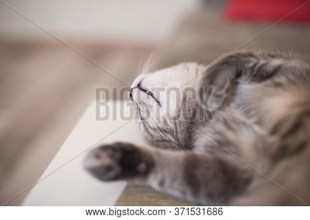 Tired Young Cat Sleeping Shows Fang. Pets Resting. Cat On Self-isolation During A Pandemic.