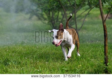 American Staffordshire Terrier Or Amstaff Or Stafford. Portrait Of A Dog.