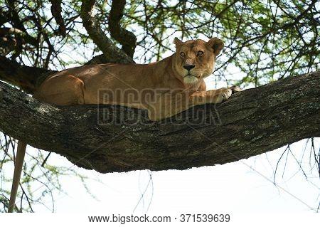 Lioness Tree Climbing Serengeti - Lion Safari Portrait