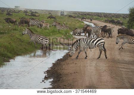 Plains Zebra Equus Quagga- Big Five Safari Black And White Stripped Great Migration Serengeti