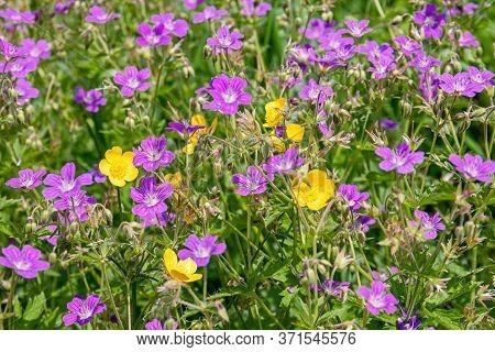 Purple Wild-growing Flowering Forest Plants Cranesbill Or Geranium Sylvaticum In Their Natural Habit