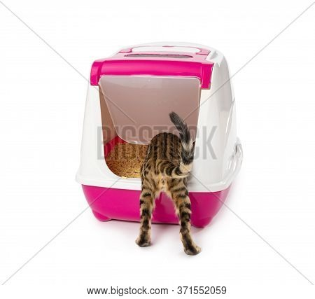 Bengal Kitten Enters An Enclosed Litter Box Through A Hanging Door. Isolated On White Background.