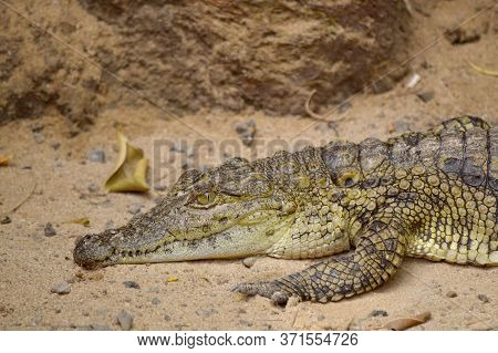 A Nile Crocodile Latin Name Crocodylus Niloticus Resting
