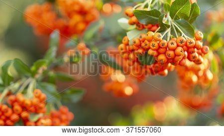 Branch With Ripe Orange Rowan Berries. Close-up.