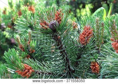 Pine Tree With Pine Cones In The Summer. Pine Cone With Branch. Cone On Pine Branches.