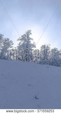 Vertical Beautiful Frosted Trees On The Snow Covered Slope Of Wasatch Mountains In Winter