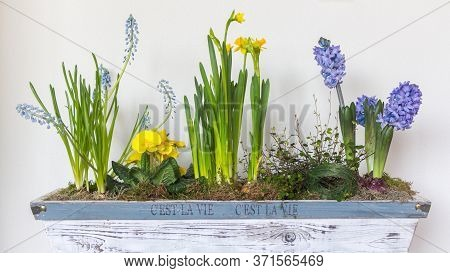 Sring Flower Arrangement In A Flower Pot With Narcissus And Blue Grapes Flower