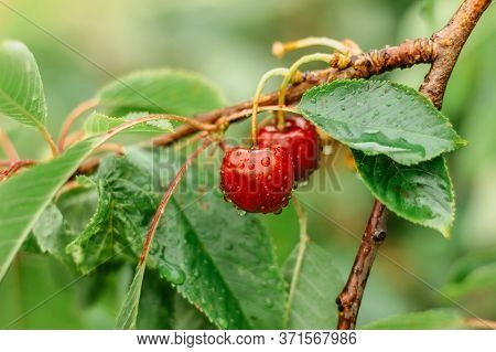 Cherries Hanging On A Cherry Tree Branch.water Droplets On Fruits, Cherry Orchard After The Rain. Fr