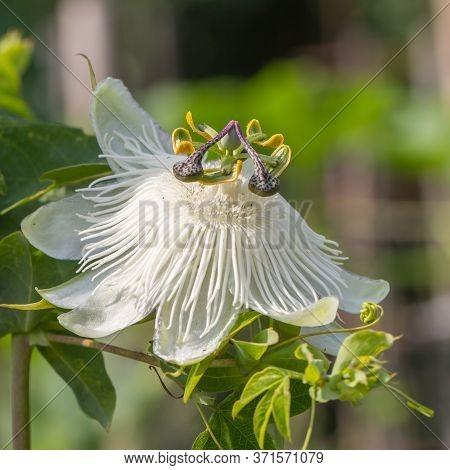 Closeup Of A Beatitful White Passiflora Flower