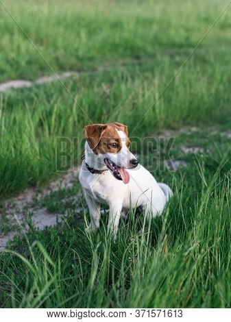 Happy Puppy Jack Russell Terrier Sitting In The Summer Meadow. Dark Green Background.