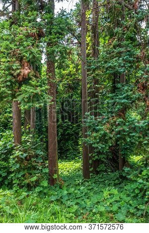 Forest Of Straight Cryptomeria Trees, Or Japanese Cedar. Dense Forest Of Cryptomeria Trees. Cryptome