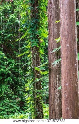 Straight Trunks Of Evergreen Trees Cryptomeria. Forest Of Straight Cryptomeria Trees, Or Japanese Ce