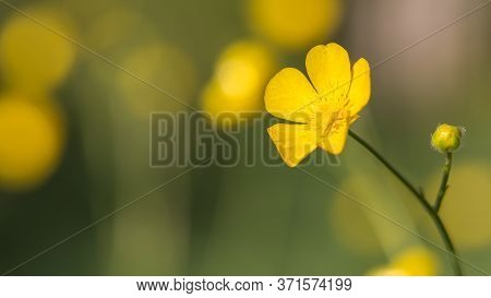 Buttercups Flower Macro On A Green Grass Background