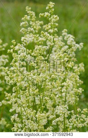 Beautiful White Wild Flowers Galium Boreale On A Green Background.