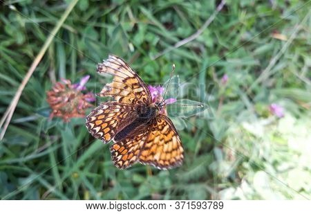 Great Spangled Fritillary Butterfly With Colorful Orange Patterned Wings Sips Nectar From Wildflower