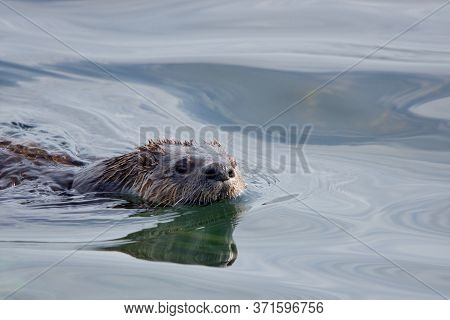 River Otter Swims In Shallows Along Shore In Morning Sun, Clover Point, Vancouver Island, British Co