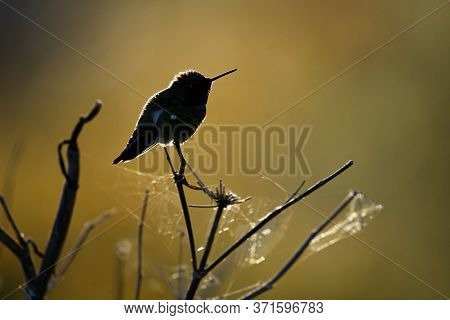 Silhouette Of Anna's Hummingbird Sitting On Cobweb Covered Twigs In Evening Sun, Clover Point, Vanco