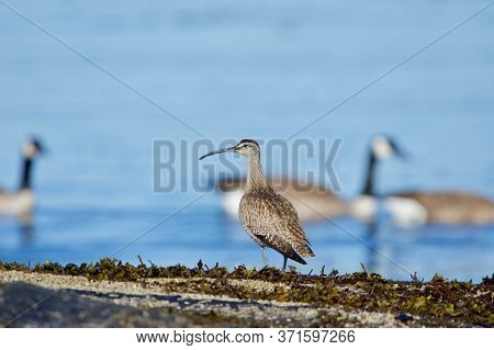 Whimbrel Stands On Seaweed Covered Rocks On Shore While Canada Geese Swim By In Background, Clover P