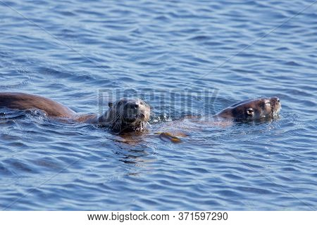 Two River Otters Swim In The Ocean Off Of Clover Point, One Grimaces Towards Camera, Vancouver Islan
