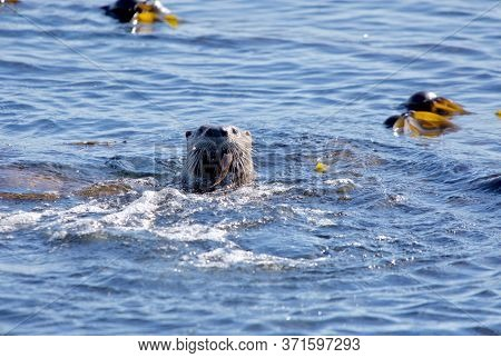 Adult Otter Surfaces In Kelp Bed With Gunnel Fish In Mouth, Near Clover Point, Vancouver Island, Bri