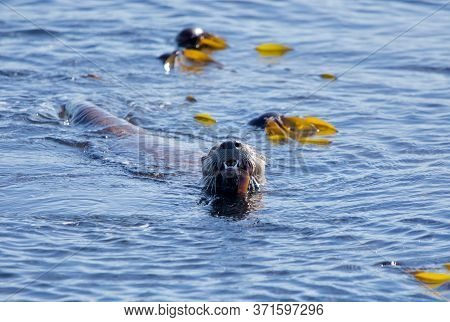 River Otter Chews On A Fish Showing Its Sharp Teeth While It Swims In A Patch Of Bull Kelp, Clover P