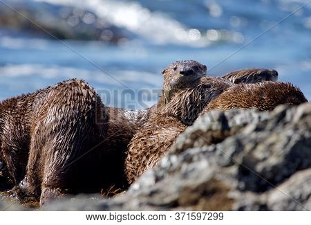 Five Otter Siblings Have A Group Cuddle While On The Rocky Shore Of Clover Point, Vancouver Island,