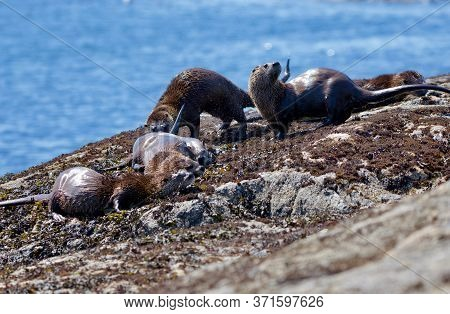 One Otter Shakes While Three Others Rub Against The Rocks On Shore At Low Tide, Clover Point, Vancou