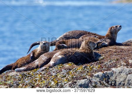 Several River Otter Siblings In A Close Group On Seaweed Covered Rocks At Low Tide Enjoy The Sunny M