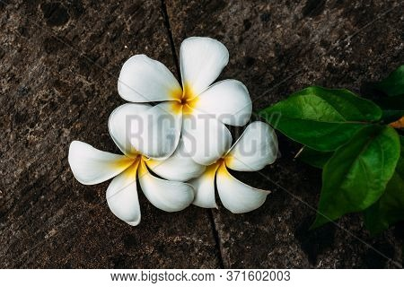 Glorious Frangipani Or Plumeria Flowers, With Black Background. Frangipani Typical Balinese Flower -