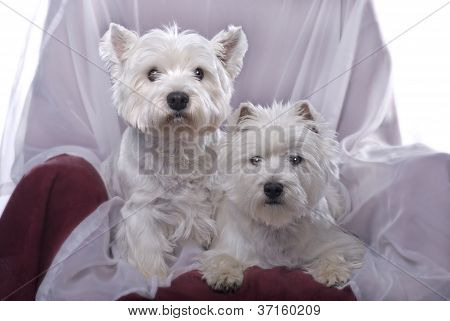 A Pair Of West Highland White Terriers