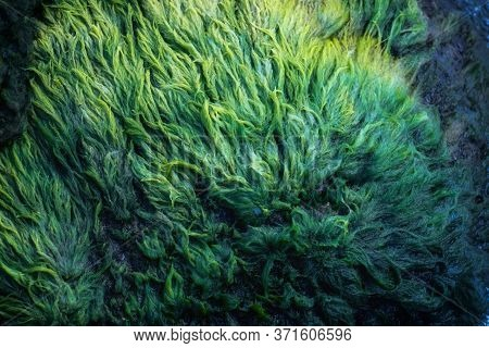 Green Algae Covered Granite Boulder In A Riverbed. Swamp Algae. Background And Texture.