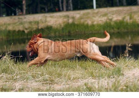Portrait Running Dogue De Bordeaux. Dog Mastiff Pet.
