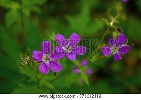 Wood Cranesbill, Woodland Geranium, Geranium Sylvaticum. Forest Geranium Close Up.