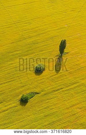 Portrait Orientation Shot Of Green Trees In The Middle Of A Large Flowering Yellow Canola Field. Pla