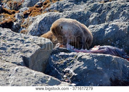 River Otter Feasts On A Large Lingcod On The Rocky Shore, Clover Point, Vancouver Island, British Co
