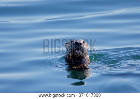 River Otter Surfaces In Blue Sea With A Fish In Its Jaws Near Clover Point, Vancouver Island, Britis