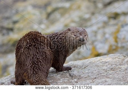 A Very Dirty Young River Otter Looks Back At The Camera While Standing On Rocks,  Clover Point, Vanc