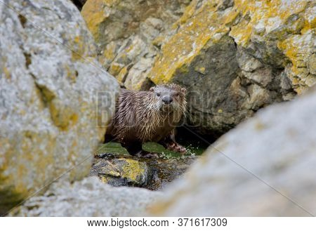 River Otter At A Small Pool Of Water Between Lichen Covered Boulders On Clover Point, Vancouver Isla