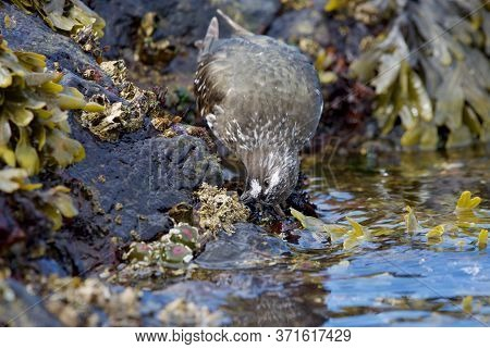 Black Turnstone Probes For Food On The Rocks At Low Tide, Clover Point, Vancouver Island, British Co
