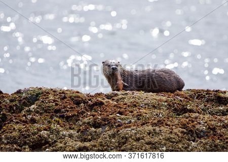 Wet River Otter Holds A Rockfish In Its Mouth While Standing On Barnacle Covered Rocks In Morning Su