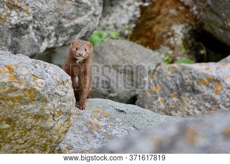 American Mink Peers Around A Boulder While Hunting Along The Shore At Clover Point,vancouver Island,